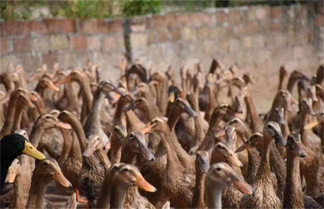 三穗鴨養殖方法