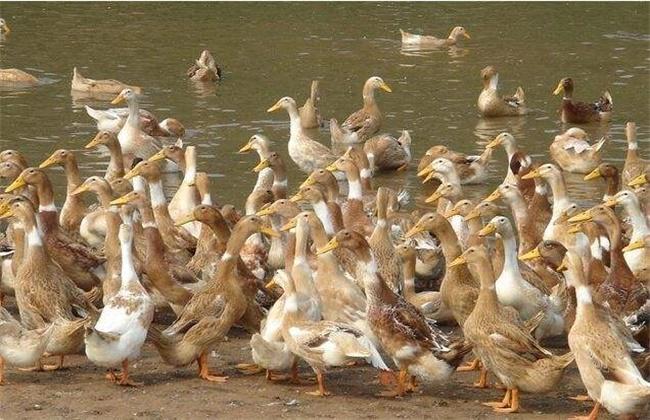 金定鴨的養殖管理技術