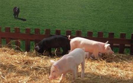 你不得不讀的種豬飼養順口溜
