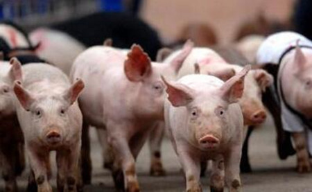 農業部:南方部分地區生豬存欄調減超1600萬頭